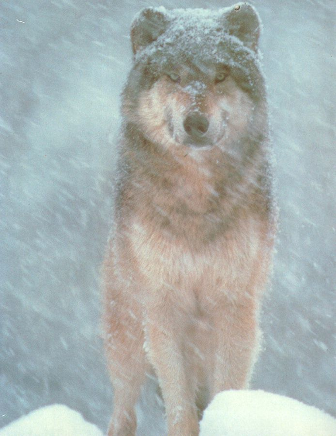 wolves03.jpg